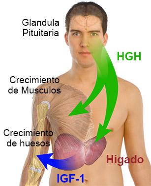 Uso de hormona del crecimiento con pesos para el pene